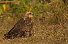 Marsh Harrier Female - Wikimedia.jpg