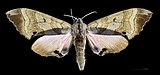 Marumba gaschkewitschii echephron MHNT CUT 2010 0 51 female 奥新保 Okushinbo Japan dorsal.jpg