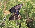 Mating butterlies on juniper (2468534563).jpg