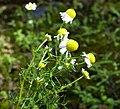 Matricaria chamomilla flower (23).jpg