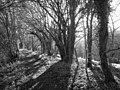Mature hazel coppice alongside footpath - geograph.org.uk - 306784.jpg