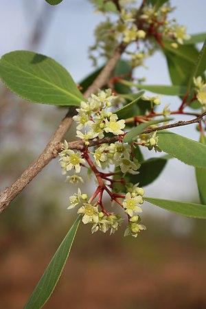 Celastraceae - Inflorescence of Gymnosporia senegalensis