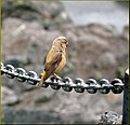 McKenzie Loop Drive, Red Crossbill, OR 8-29-13u (10122813335).jpg