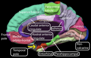 roles of the hippocampus posterior and anterior areas in a primates brains A group of nuclei of varied origin in the brains of vertebrates that act as a cohesive functional unit they are situated at the base of the forebrain and are strongly connected with the cerebral cortex, thalamus, and other brain areas.