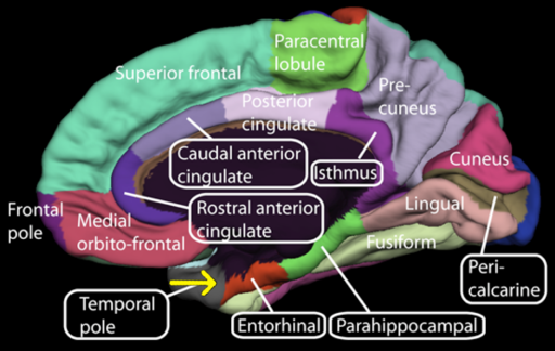 Medial surface of cerebral cortex - entorhinal cortex