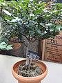 Medicinal Plants - US Botanic Gardens 05.jpg