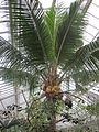 Meise Plantentuin Cocos.JPG