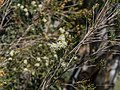 Melaleuca trichostachya Burke River Boulia Queensland P1030930.jpg