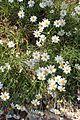Melampodium leucanthum kz6.jpg