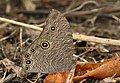 Melanitis leda-Common eveningbrown.jpg