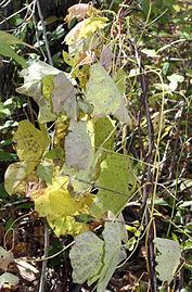 Menispermum canadense 8299.jpg