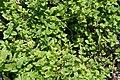 Mentha spicata 2zz.jpg