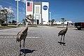 Merritt Island sandhill cranes at KSC (KSC-20210324-PH-JBS02 0035).jpg