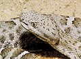 Mexican ridged nosed rattlesnake head.jpg