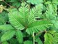 Mimosa pudica (Fabaceae) 04.jpg