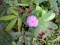 Mimosa pudica - Kerala 3.jpg