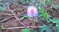 Mimosa pudica b.jpg