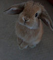 Miniature Lop-stood up.jpg