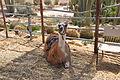 Mitzpe Ramon Llama (7704065594).jpg