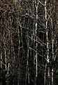 Mixed bare saplings 1.jpg