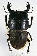 Mokohinau stag beetle.jpg