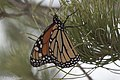 Monarch Butterfly (resting during migration) Rusty's Rodeo NM 2017-10-14 18-30-25-2 (37740547581).jpg