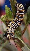 Monarch caterpillar (2).jpg