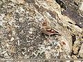 Mongolian Finch (Bucanetes mongolicus) (42962480515).jpg