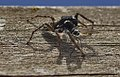 Monstres 126 - monstruos - monsters - crab spider on the lunch (866196291).jpg