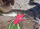 Morelets.crocodile.arp