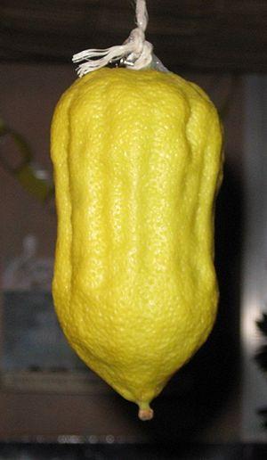Moroccan citron - Image: Morocco Etrog