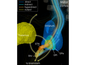 Direct pathway of movement - Depicted are parts of the basal ganglia and their interconnections as revealed by diffusion spectrum imaging based on thirty subjects from the human connectome project (HCP MGH). Direct, indirect and hyperdirect pathways are visualized in different colors (see legend). Subcortical structures are rendered based on the Harvard-Oxford subcortical (Thalamus) as well as the Atlasing of the Basal Ganglia atlas (other structures). Rendering was generated using TrackVis software.