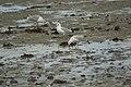 Mouettes rieuses (Chroicocephalus ridibundus)-3975.jpg