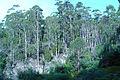 Mount Wellington Tasmania eucalyptus forest ad.jpg