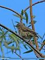 Mountain Chiffchaff (Phylloscopus sindianus) (17095341932).jpg