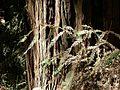 Muir Woods National Monument - Coast Redwood (Sequoia sempervirens) - Flickr - Jay Sturner (3).jpg