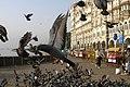 Mumbai, India, Pigeons.jpg