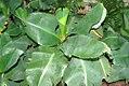 Musa acuminata Super Dwarf Cavendish 0zz.jpg