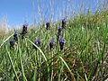 Muscari armeniacum plant1 ST (15433094569).jpg