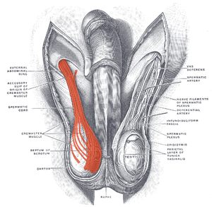 Cremaster muscle - Image: Musculus cremaster