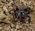 Mygalomorphae Actinopodidae Missulena bradleyi Eastern Mouse Spider The Gap Brisbane 011.jpg