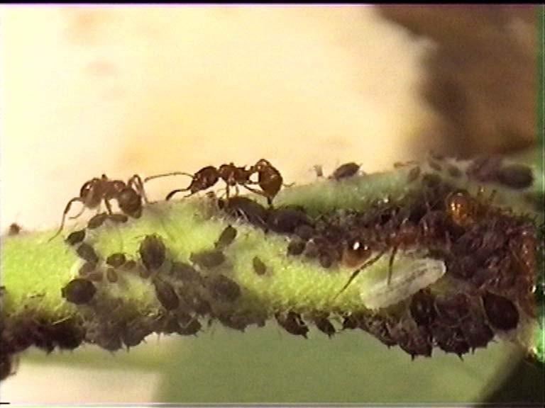 Myrmica puceron