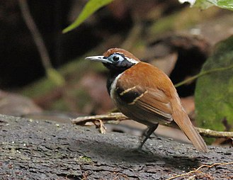 Ferruginous-backed antbird - male at Presidente Figueiredo, Amazonas state, Brazil