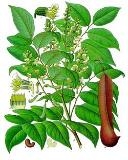 Myroxylon balsamum - Köhler–s Medizinal-Pflanzen-140.jpg