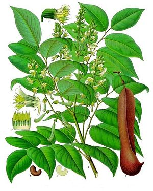 Illustration von Myroxylon balsamum