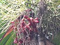 Mysore Areca Nut മൈസൂർ അടയ്ക്ക - പഴുത്തത് കവുങ്ങിൽ.JPG