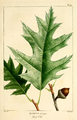 NAS-026f Quercus rubra.png