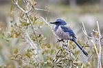 NASA Kennedy Wildlife - Florida Scrub Jay (3).jpg