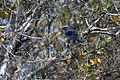 NASA Kennedy Wildlife - Florida Scrub Jay (8).jpg