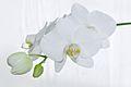 Nachtfalter Orchidee, Phalaenopsis 10.JPG